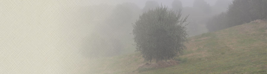 Foggy Olive Tree