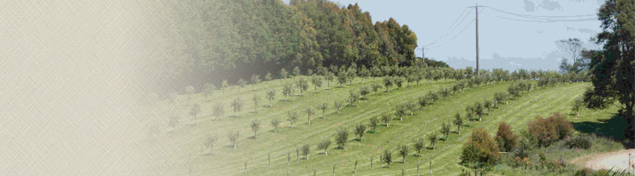Line of olive trees