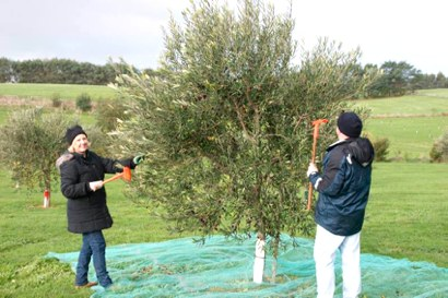 Olive harvesting of small trees