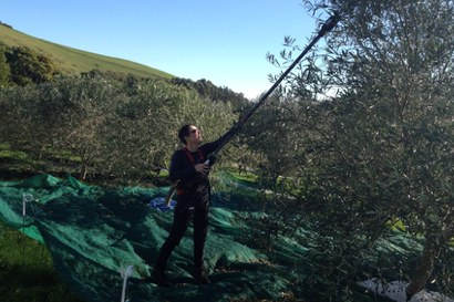 Olive harvesting of larger trees